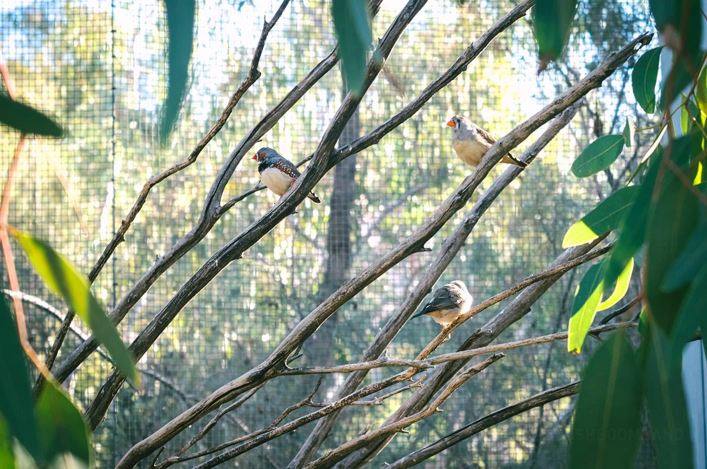 NT Australia - Zebra finch birds