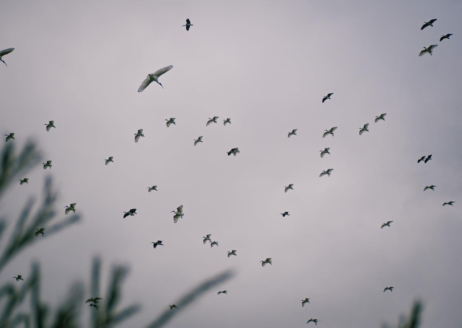 Perth, Australia - White Ibis birds flocking