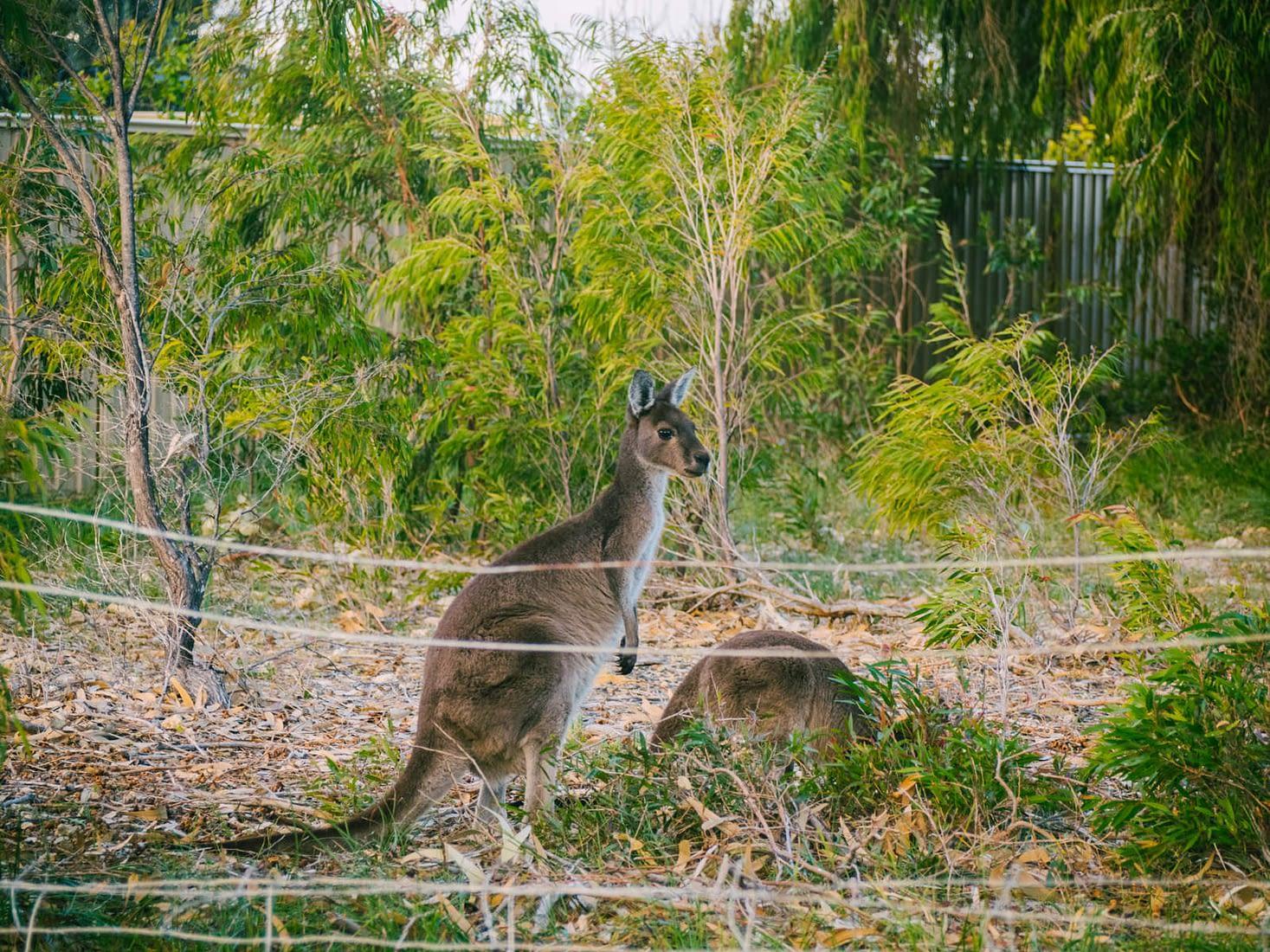 Perth, Australia - Preston beach - Kangaroos on a lookout