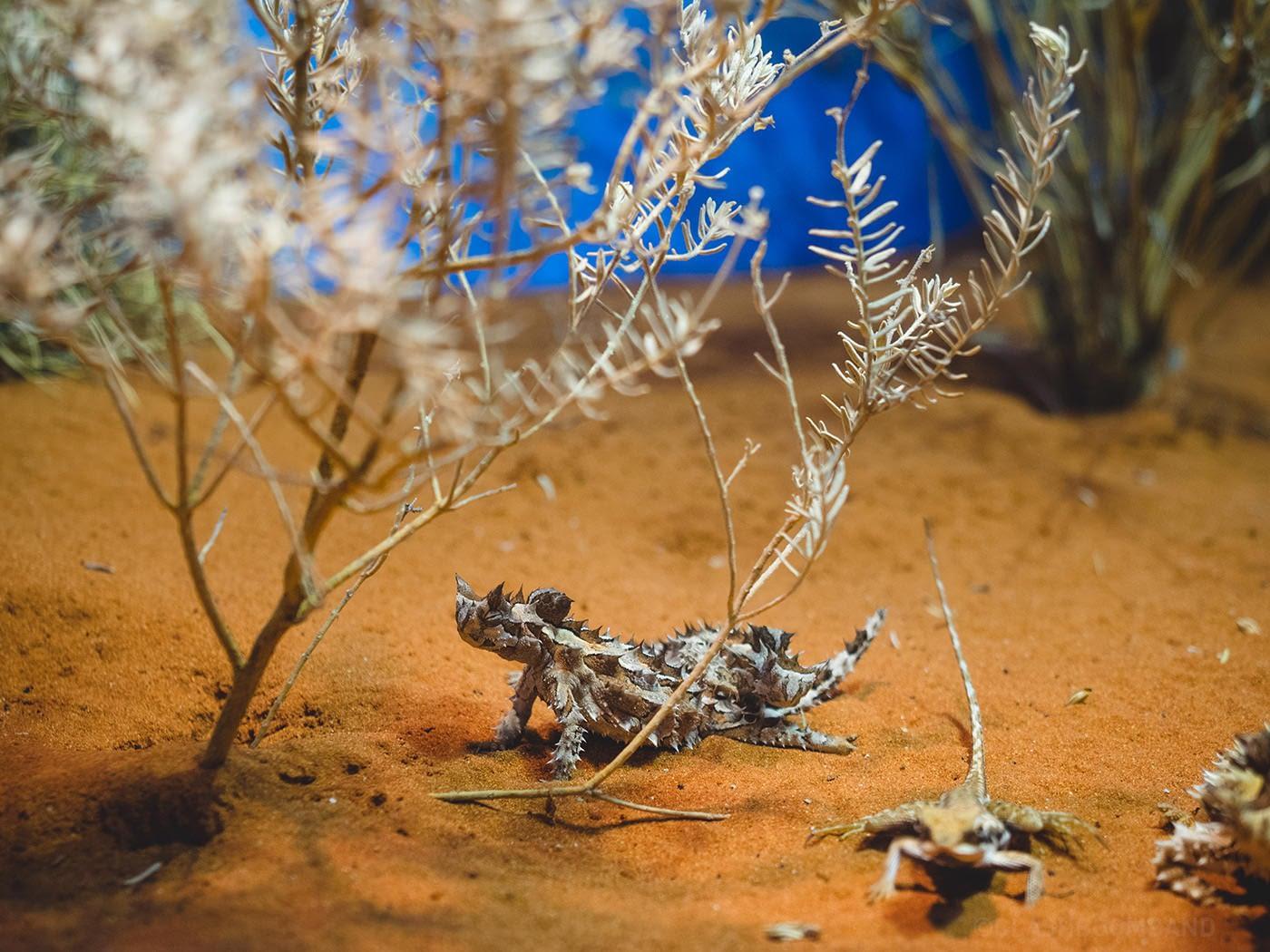 NT Australia - Thorny devil hiding out