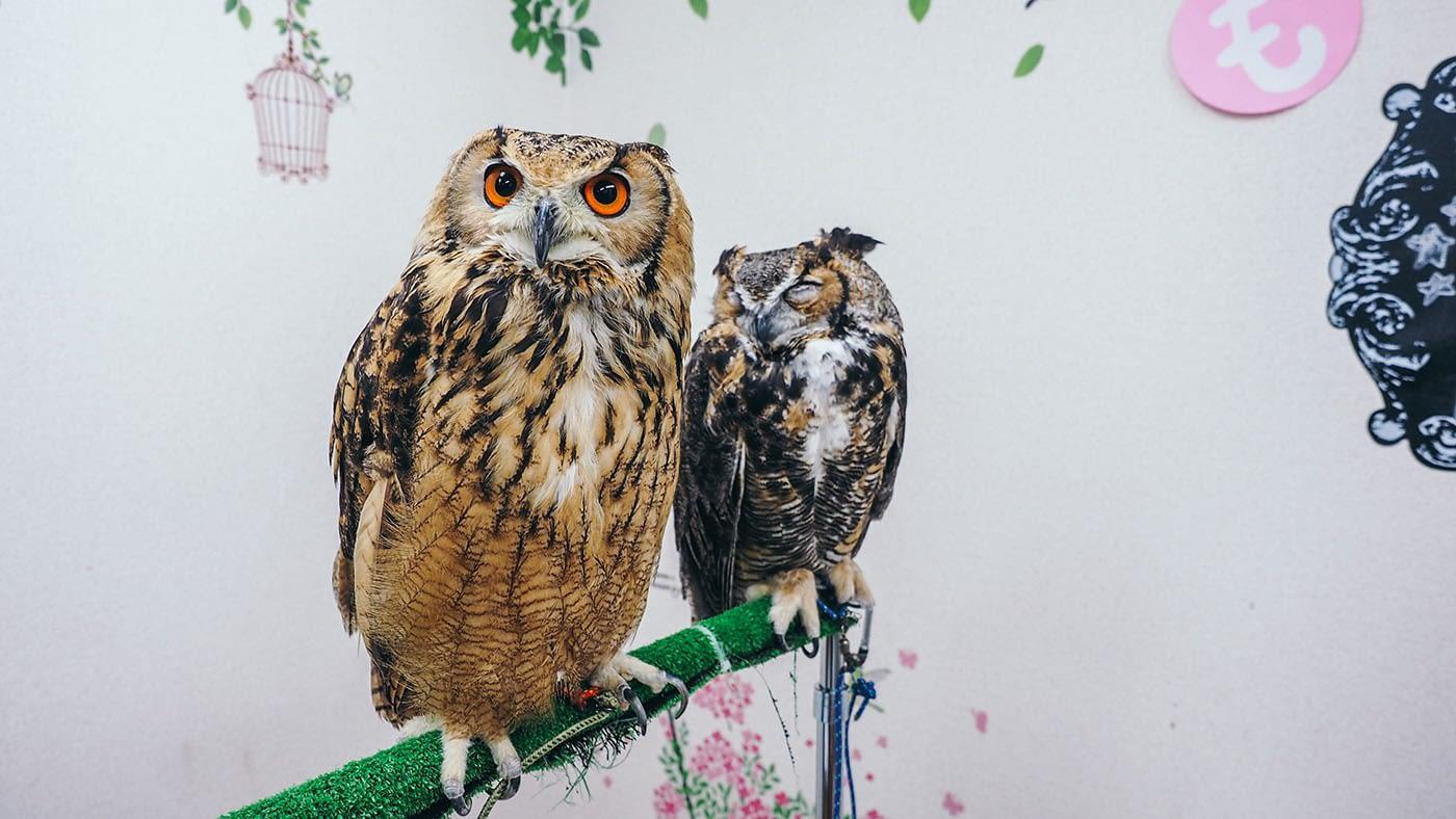 Japan - Shinjuku Mohumohu Owl Cafe - vibrant orange eyes