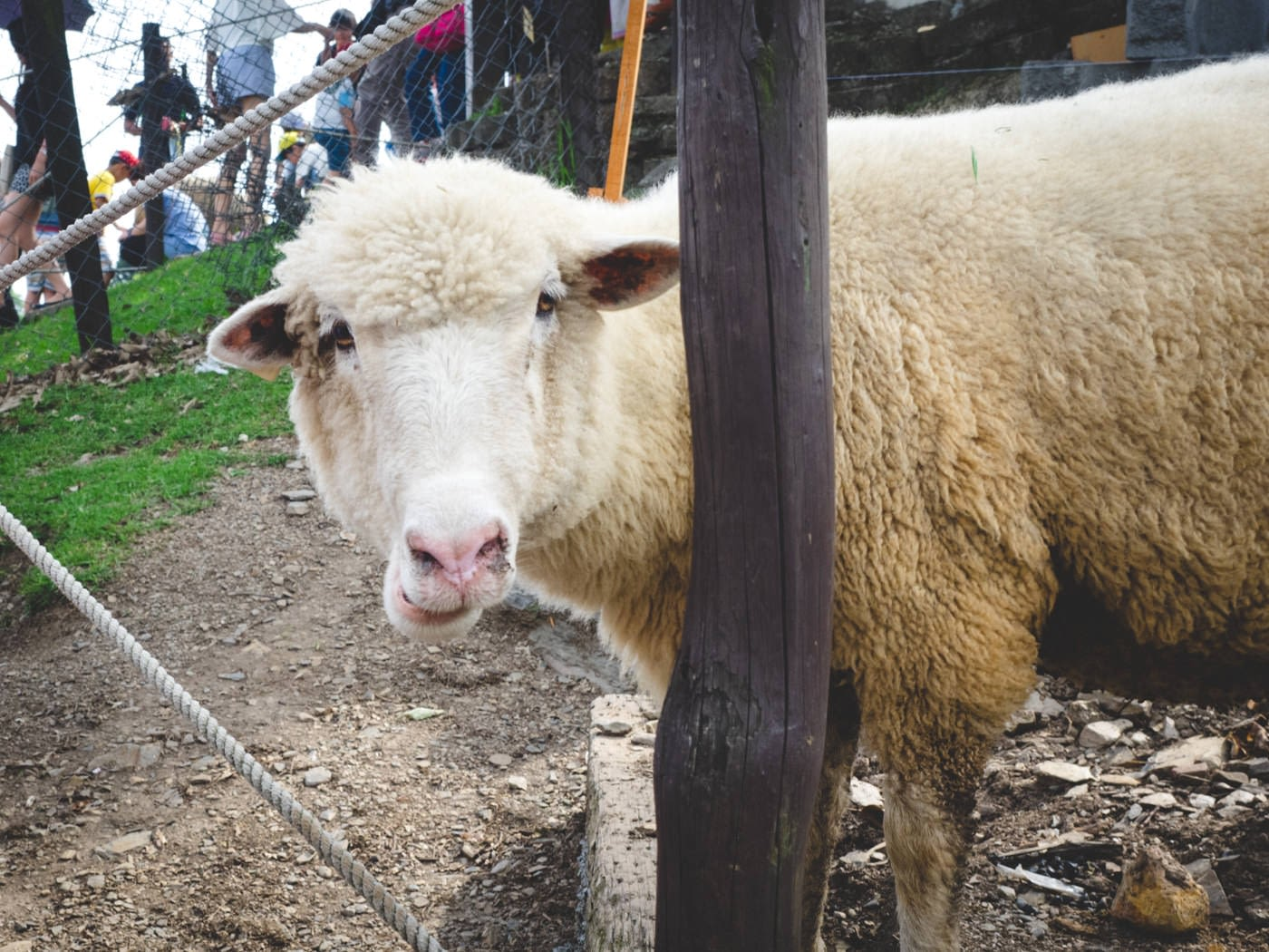 Taiwan - Qingjing Farm - Sheep smirks