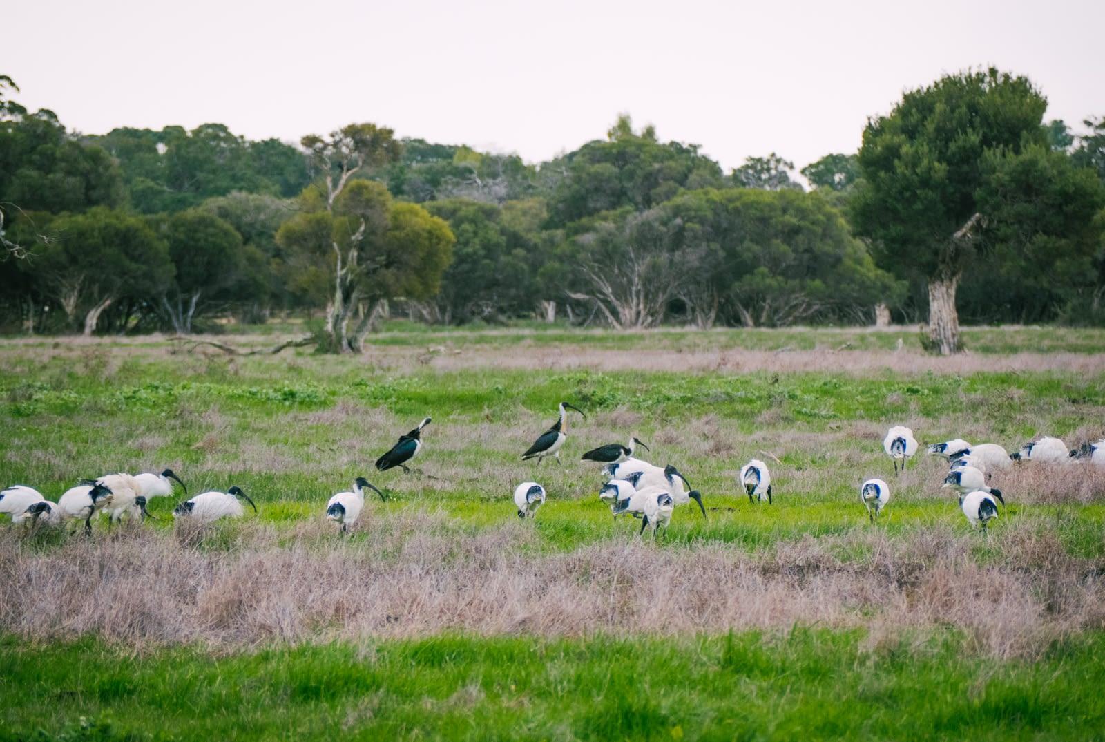 Perth, Australia - White Ibis birds