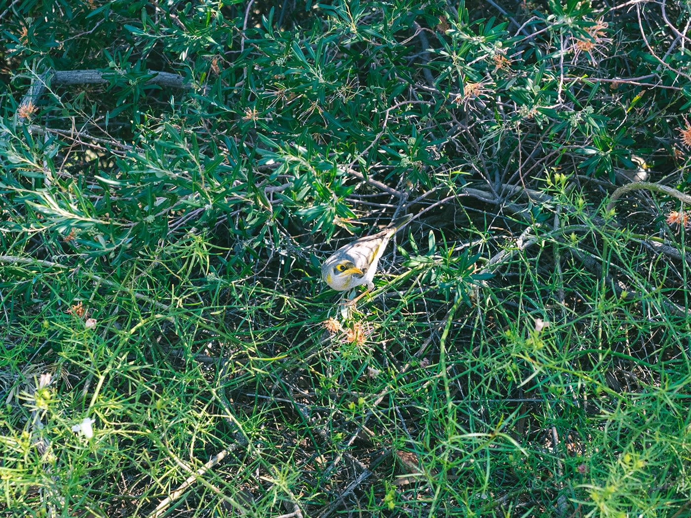 NT Australia - Alice Springs - Yellow beak bird in Anzac Hill