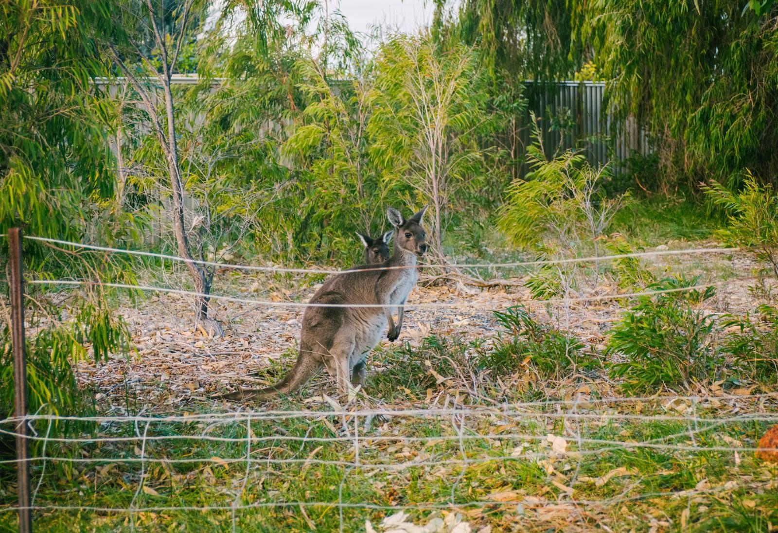 Perth, Australia - Preston beach - Kangaroos