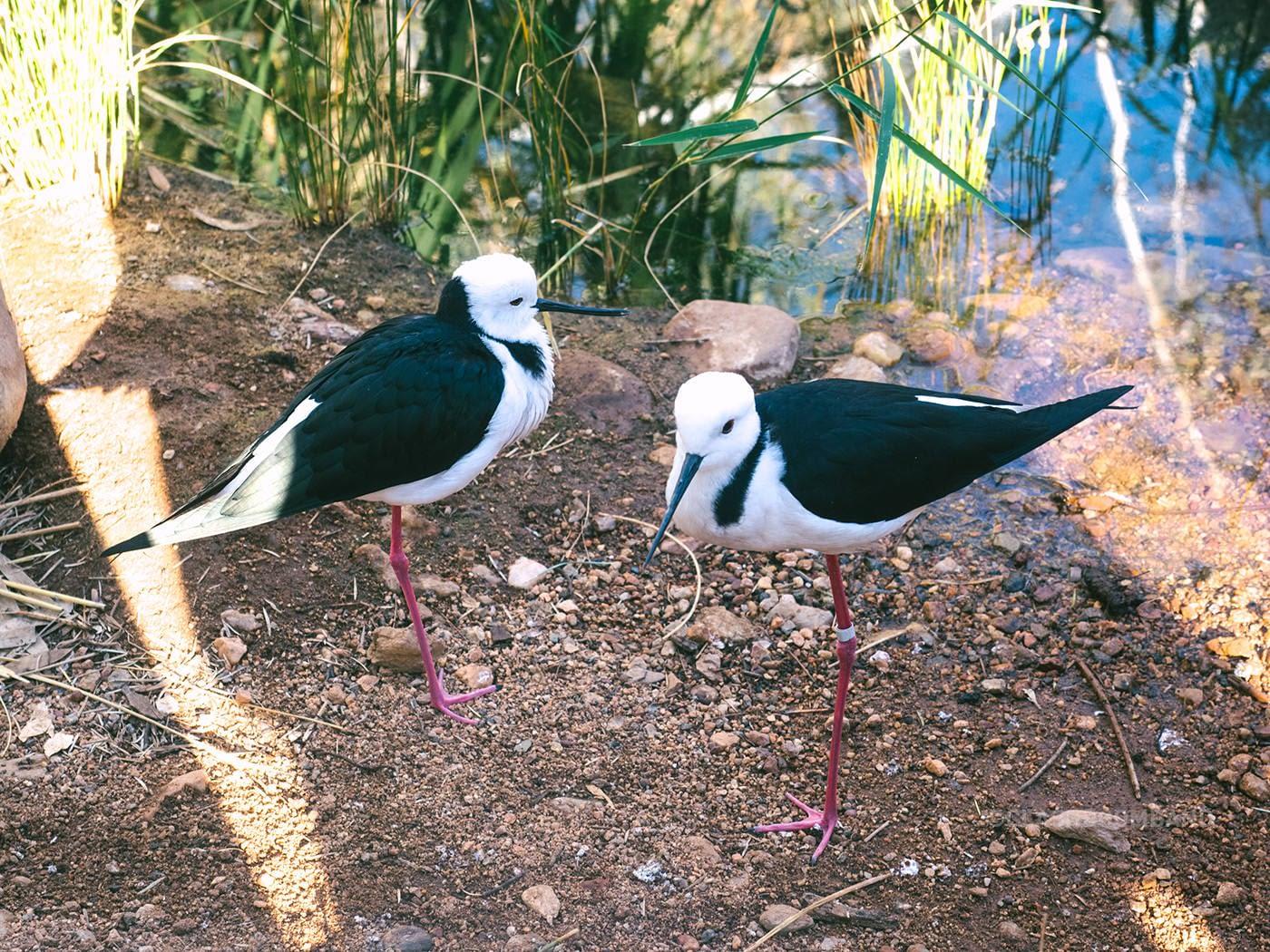 NT Australia - Pink leg birds