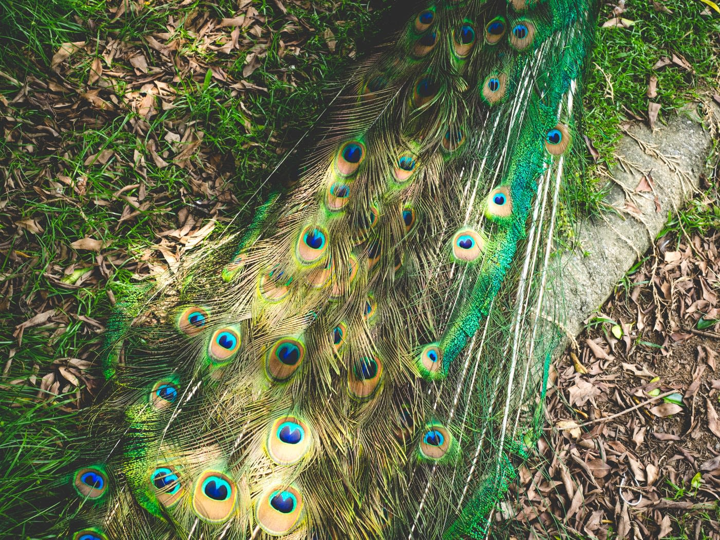Taiwan - Peacock Garden - Eyelet feathers