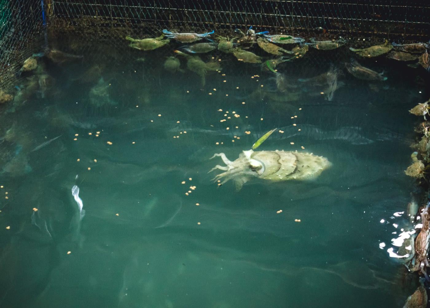 Indonesia - Montigo - Albino crayfish