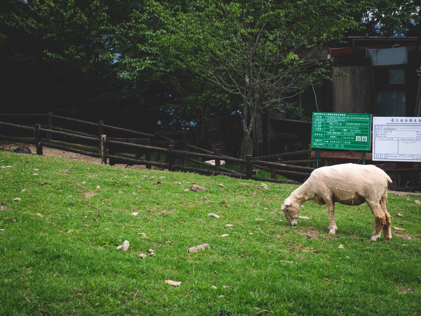 Taiwan - Qingjing Farm - Shaved down sheep
