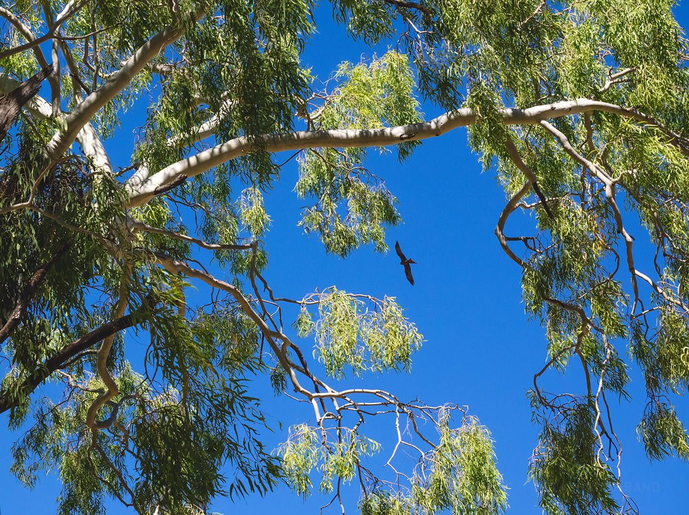 NT Australia - Mataranka - Eagles