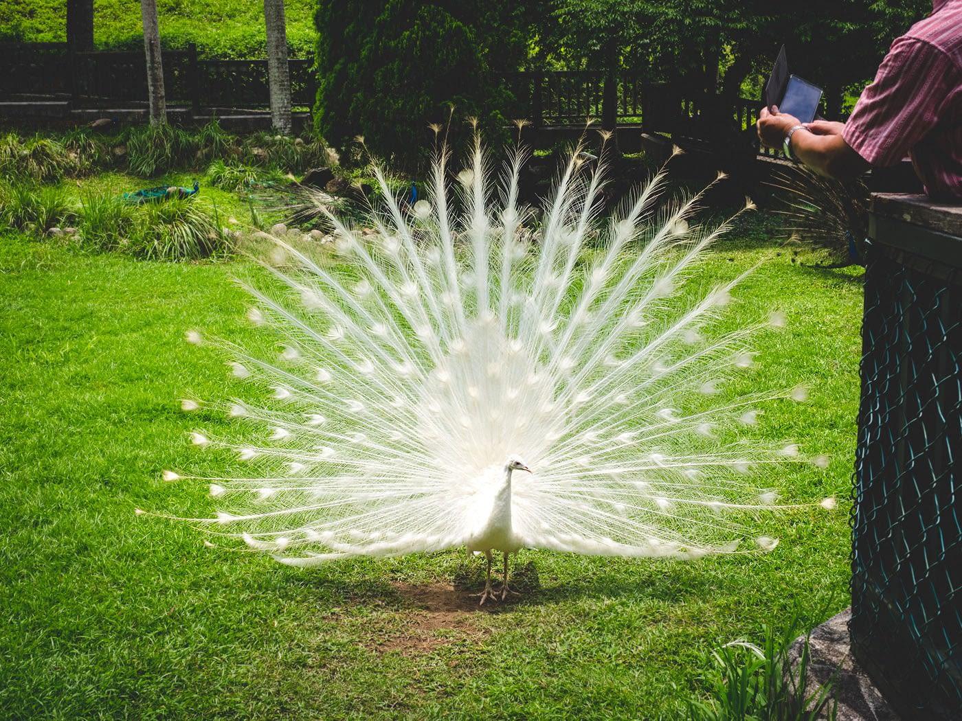 Taiwan - Peacock Garden - Beautiful white peacock