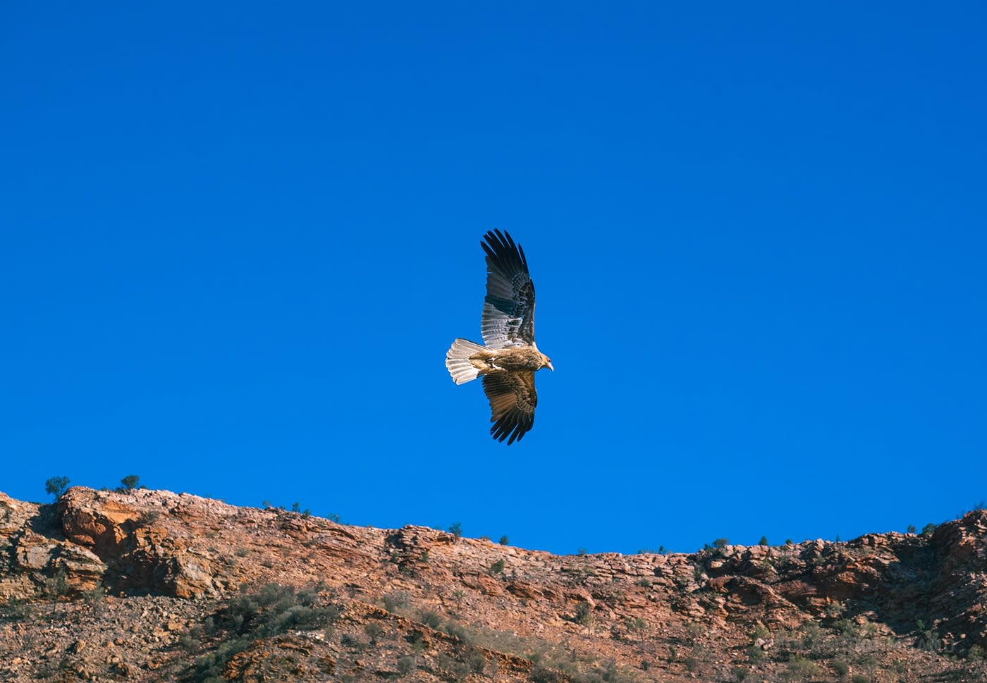 NT Australia - Eagle soaring in the sky