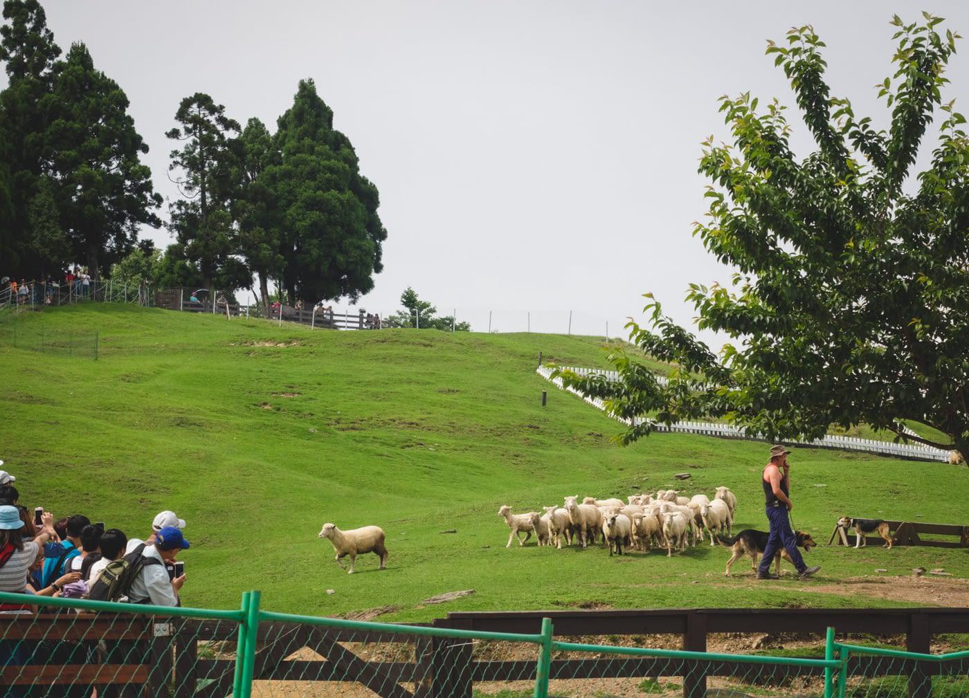 Taiwan - Qingjing Farm - Sheep herding