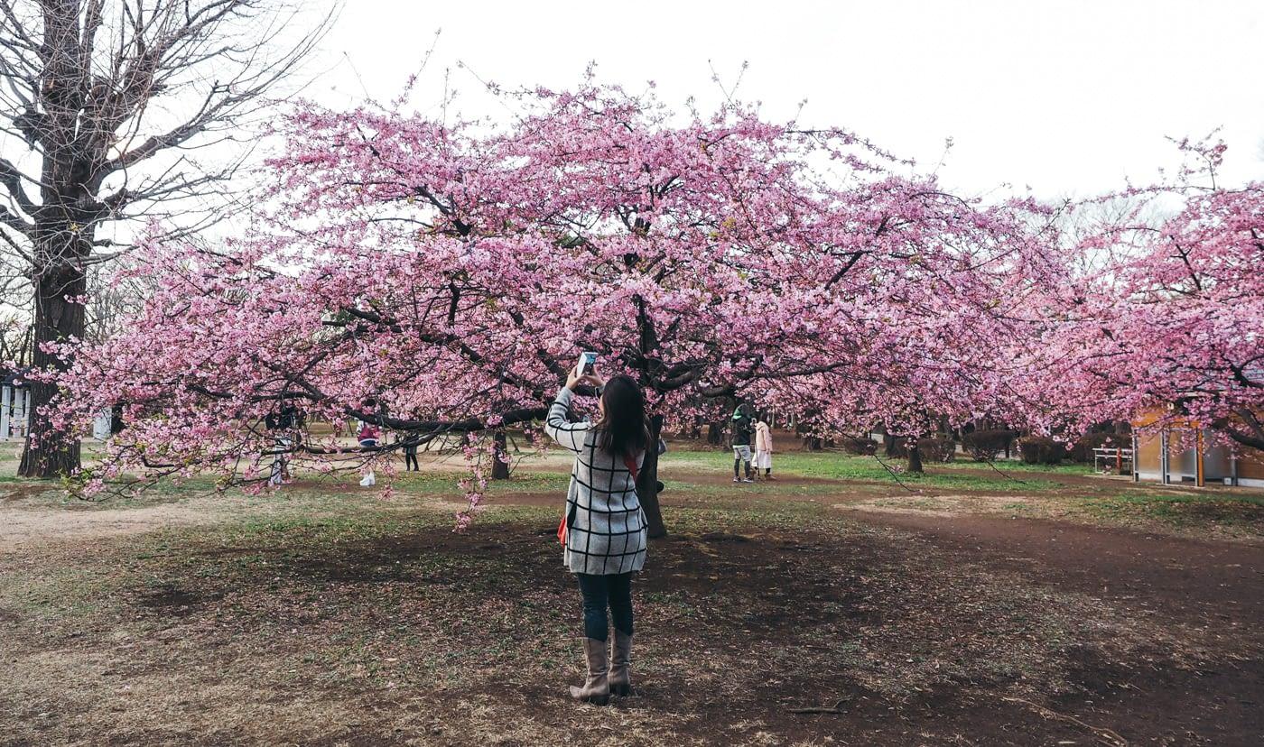Japan - Yoyogi Park - Dap taking pictures under the blossoms