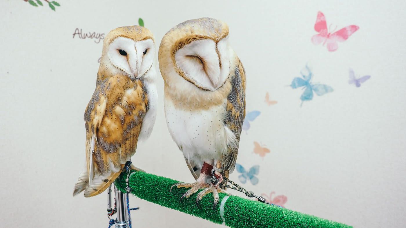 Japan - Shinjuku Mohumohu Owl Cafe - Cute barn owls